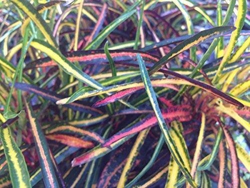 emeralds-tm-tropical-croton-plant-shoestring-zanzibar-leaves-vivid-red-orange-yellow-houseplant-or-o