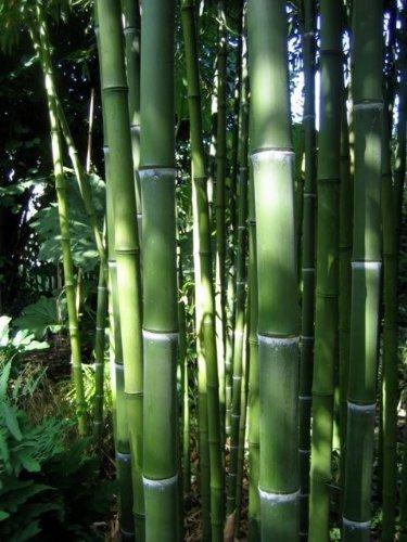 Maya Gardens, Inc. Phyllostachys Atrovaginata Incense Bamboo #1 Size Live Plant