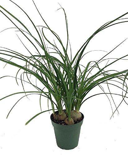 (Ponytail Palm - 4