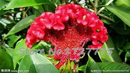Green Seeds Co. 100 PCS/Bolsa Colorido Pteris Cockscomb (celosia spicata) Bonsai Bonsai Flower Bonsai Plantas en macetas para el hogar de Bricolaje y amp; amp; Jardín: Blanco: Amazon.es: Jardín