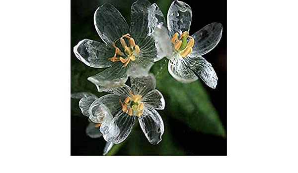 Rare Exotic Blooming Plants Transparent Flowers Seeds 100 Pcs Diphylleia Grayi S