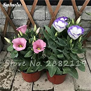 120 piezas raras Semillas Eustoma Mixta plantas perennes de floración balcón en maceta Flores Semillas lisianthus Para Tiesto plantadores 2