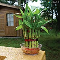Ugaoo Lucky Bamboo 2 Layer Feng Shui Plant