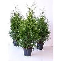 Thuja Brabant sehr dichte Heckenpflanze 60-80cm 2l Topf gewachsen