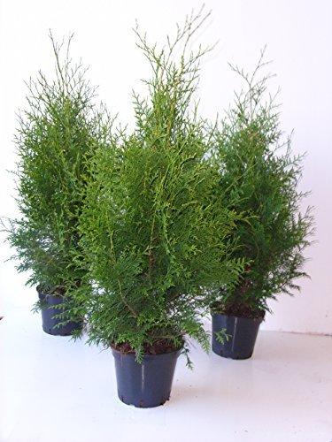 Platz 2 – Thuja Brabant sehr dichte Heckenpflanze 60-80cm 2l Topf gewachsen