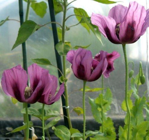 Flower Seeds - 75 Seeds of Purple Poppy Seeds Lavender Heirloom Poppies Wildflowers Non Gmo - Petal Little Mass