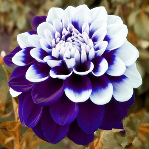Hot Selling!!! Tomo Pilot Dahlia flower seeds,beautiful flower and easy to grow, 20 Seeds/pack
