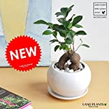 LAND PLANTS 幸福の樹 ガジュマル 白色丸型陶器 フィカス・ミクロカルパ