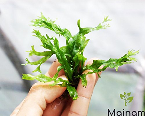 Mainam Java Fern Windelov Tropical Live Aquarium Plants Freshwater Aquatic Tank...