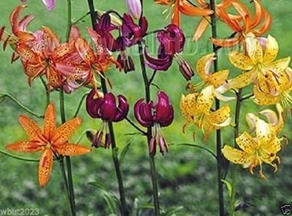 Amazoncom Lilium Martagon Painted Ladies 10 Seeds Mixture