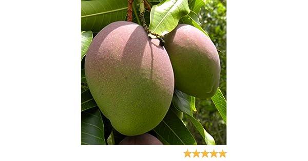 Mango planta - Maceta tubo - Altura aprox. 1, 30m. - Planta viva - (Envío sólo a Península): Amazon.es: Jardín
