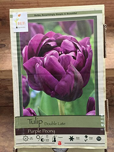(20 Purple Peony Tulip Bulbs-- Double Late, New!!)