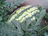 40 Georgia Rattlesnake Watermelon Seeds Fresh Seed Fruit Seeds