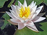 Live Aquatic Hardy Water Lily