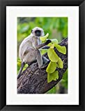 Gray Langur Monkey, Kanha National Park, Madhya Pradesh, India by Panoramic Images Framed Art Print Wall Picture, Black Frame, 17 x 23 inches