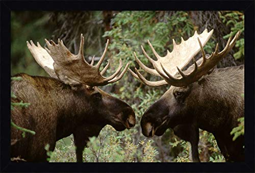 Framed Canvas Wall Art Print | Home Wall Decor Canvas Art | Alaska Moose Males confronting Each Other in The Fall, Alaska by Michael Quinton | Modern Decor | Stretched Canvas Prints