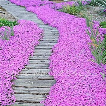 Ground Cover Plants (120 Pcs New Arrival! Heirloom Mountain Phlox Seed,Potted Bonsai Plant Flower Seeds for Home Garden Decor Ground Cover Plant)