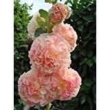 "Hollyhock Peaches and Cream""Alcea Rosea"" 25 Seeds"