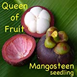 ~PURPLE MANGOSTEEN~ Garcinia mangostana ~the QUEEN of FRUIT TREES~ Medium PLANT