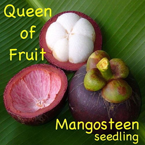 Best mangosteen seeds for planting for 2019 | Kinaa Product