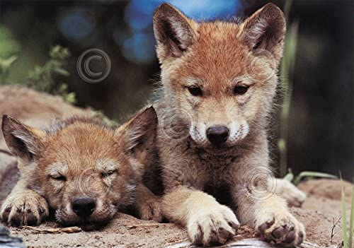 Spring Wolf Pups Art Wolfe Photograph Animal Wolves Nature Print Poster 11x14