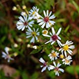 750 Seeds of Symphyotrichum lateriflorum, Calico Aster, Goblet Aster, Side-Flowering Aster, Aster lateriflorus