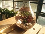 NewDreamWorld's Marimo Terrarium Kit -Japanese Moss Ball Aquarium, Teardrop Bulb Glass Vase with Sea Fan, Medical Stone, Tiny Seashell, Red Volcano Rock