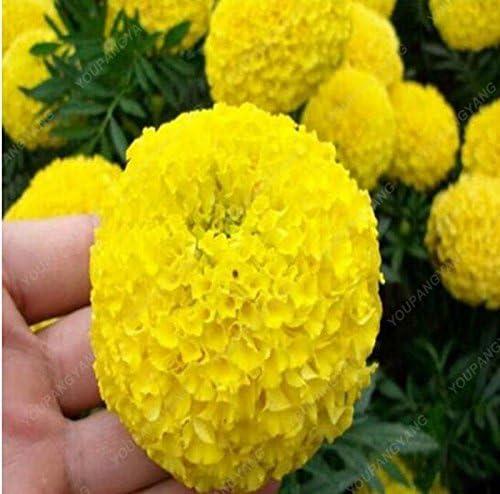 100pcs / bag cubre suelos semillas crisantemo, crisantemo planta perenne bonsai semillas de flores de margarita en maceta para el jardín de Violeta: Amazon.es: Jardín
