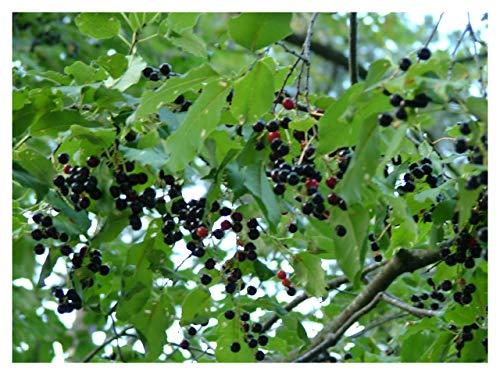 Black Cherry Tree Prunus serotina Wild Rum Established Roots - 1 Trade Gallon Pot - 1 Plant by Growers Solution