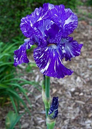 Iris Bulbs - 4 Bulbs Reblooming Bearded Iris Spectacular Blooming ()