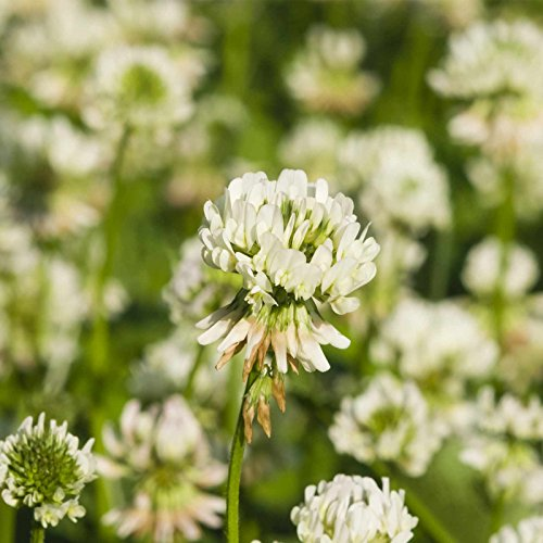White Dutch Clover - White Dutch Clover Seeds - 1 Lb - Lawn, Pasture & Cover Crop Seeds by Mountain Valley Seeds
