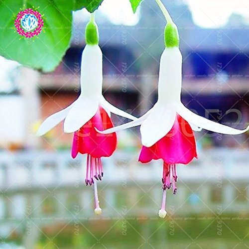 SwansGreen 10 10 10 : 100pcs/bag bonsai fuchsia Hanging flower seeds, crab seeds.potted indoor plant Lotus Lantern Begonia seeds for home garden 10 d22a35