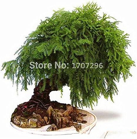 Espárragos setaceus Semillas casa pequeña de bambú de la flor de la planta casera plantadores de marihuana Hogar y Jardín - 5 PC /