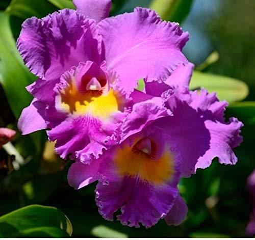 - Hawaiian Cattleya Orchid Plant 2
