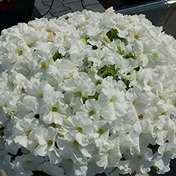 Creative Farmer Flower Seeds Petunia Snowball White Flower Seed