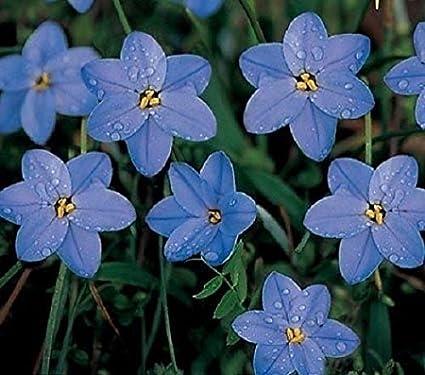 Amazon Ipheion Uniflorum Rolf Fiedler Spring Star Flower