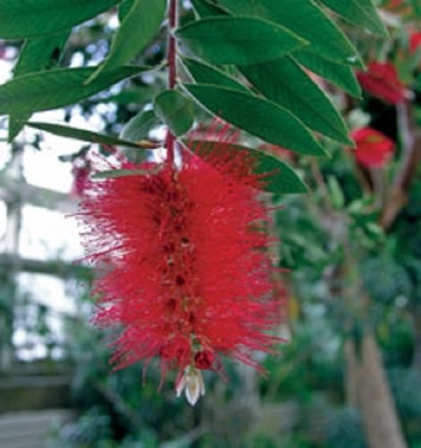 - Bottlebrush, Scarlet, red flowering shrub, hummingbirds love them, FIVE plants