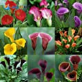 100 Pcs / Bag , Calla Lily Seeds, Diy Potted Plants, Indoor / Outdoor Pot Seed Germination Rate Of 95% Mixed Colors