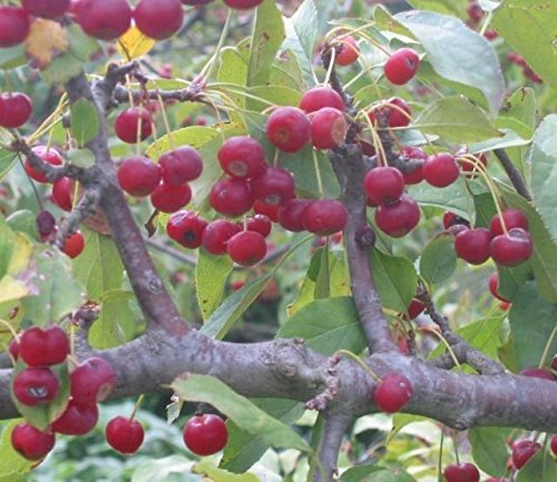 s Chinese flowering Crabapple, cherry-apple tree£¬Malus sargentii, crabapple Tree Seeds (Fast, Hardy, Fall Colour) (Malus Flowering)