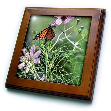 3dRose Wild Blackberry Studio - Nature - Butterfly sips nectar from some pink cosmos flowers - 8x8 Framed Tile (Cosmo Framed)