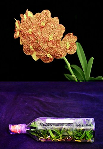 BIN KW129 A. Kultana Pappion x V. Pacharee Delight Orchids Flask ()
