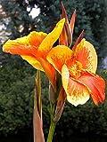 """Canna indica - Indisches Blumenrohr """" CENTURION """" 1 Rhizom"""
