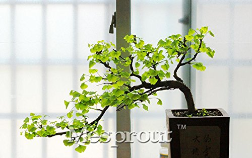 Planting Ginkgo Tree (2PCS Ginkgo Seeds Potted Balcony Planting Seasons Fruit Seeds Ginkgo Tree Bonsai Flower Seed)