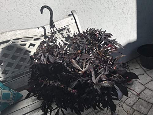 "2 Small Plant Blackie Sweet Potato Vine Burgundy in 4"" Pot Live Plant"