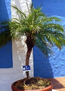 TROPICA   Palma Da Datteri Nana (Phoenix Roebelinii)   25 Semi  Palma
