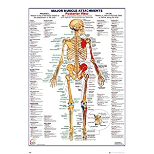 Human Body Major Muscle Attachments Posterior Reference Chart Poster 24x36