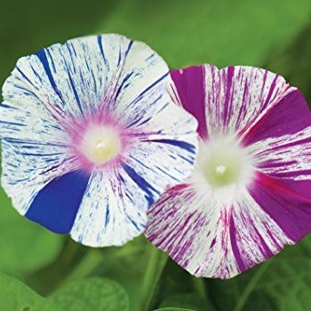 Morning Glory Seeds - Harlequin Mix - Packet, Spring and Summer/Uniquely Striped -