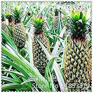 Zoomy Far 4: 1Bag = 100pcs pino semillas de frutas Semillas Semillas verdes exótica semilla rara Bonsai en maceta regalo Decoración Hogar y Jardín
