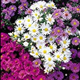 Michaelmas Daisy - Nostalgia Mixed - 75 Seeds
