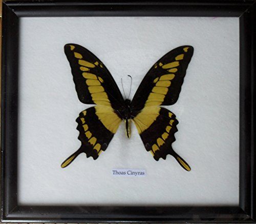 Real Single Papilio Thoas Cinyras Butterfly Taxidermy Display in -